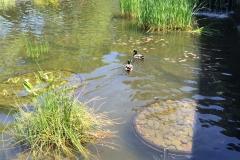 battery-park-city-ducks-1