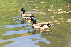battery-park-city-ducks-2