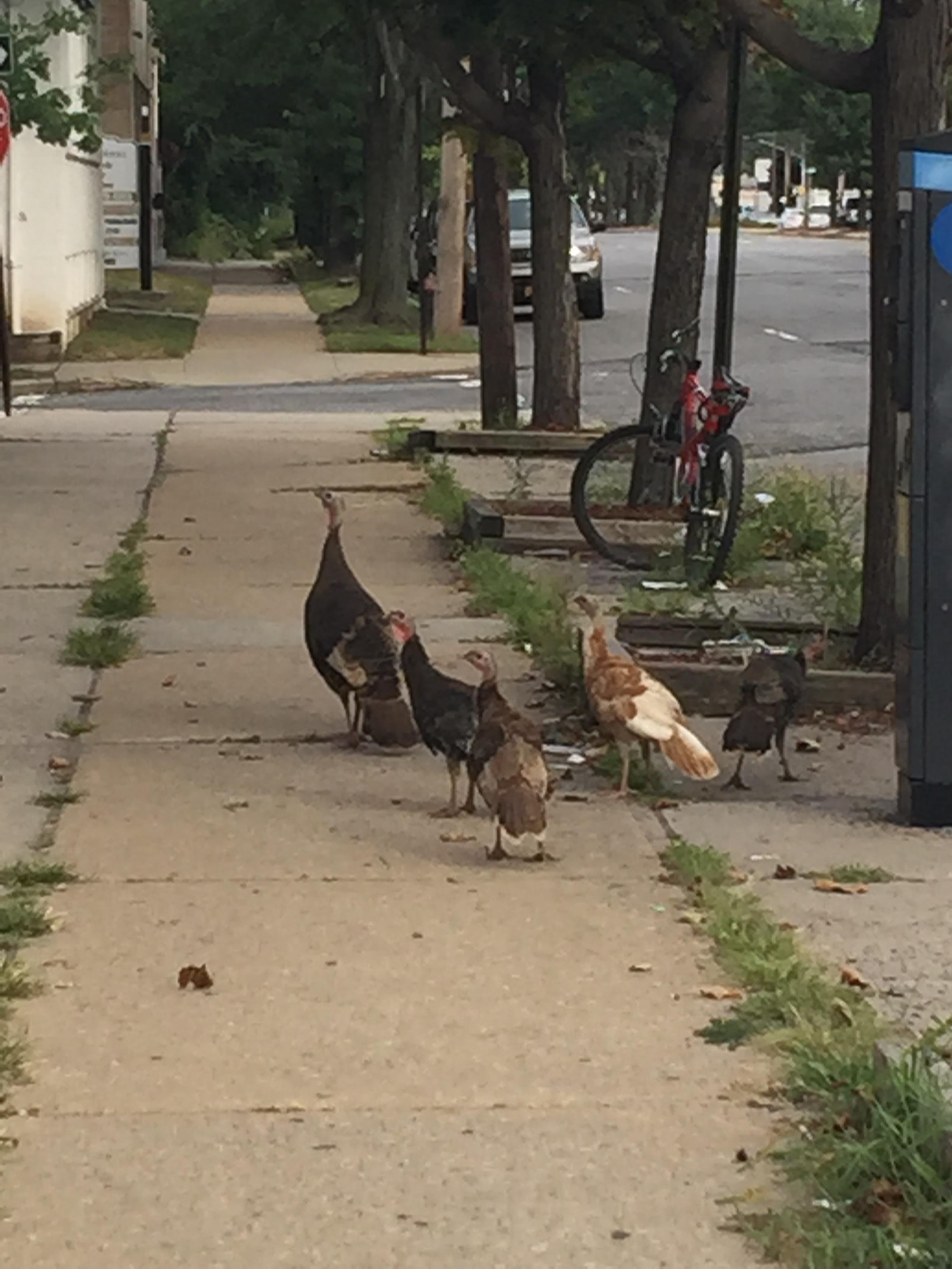 Gaggle of Wild Turkeys on Seaview Ave