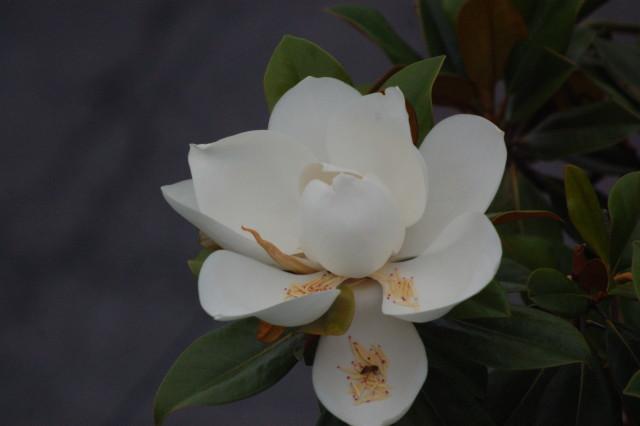 Southern Magnolia 2015